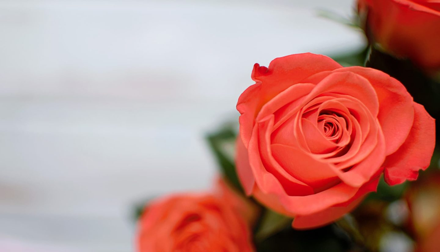 Coral colored roses by Isabella and Louisa Fischer